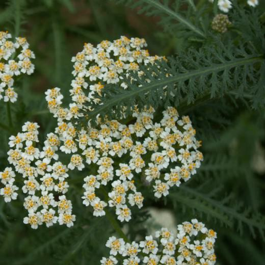 Ајдаучка трева (50 гр)